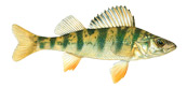 Yellow perch УЗВ окунь